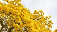 Historia del guayacán amarillo y su conservación en la Uniquindío